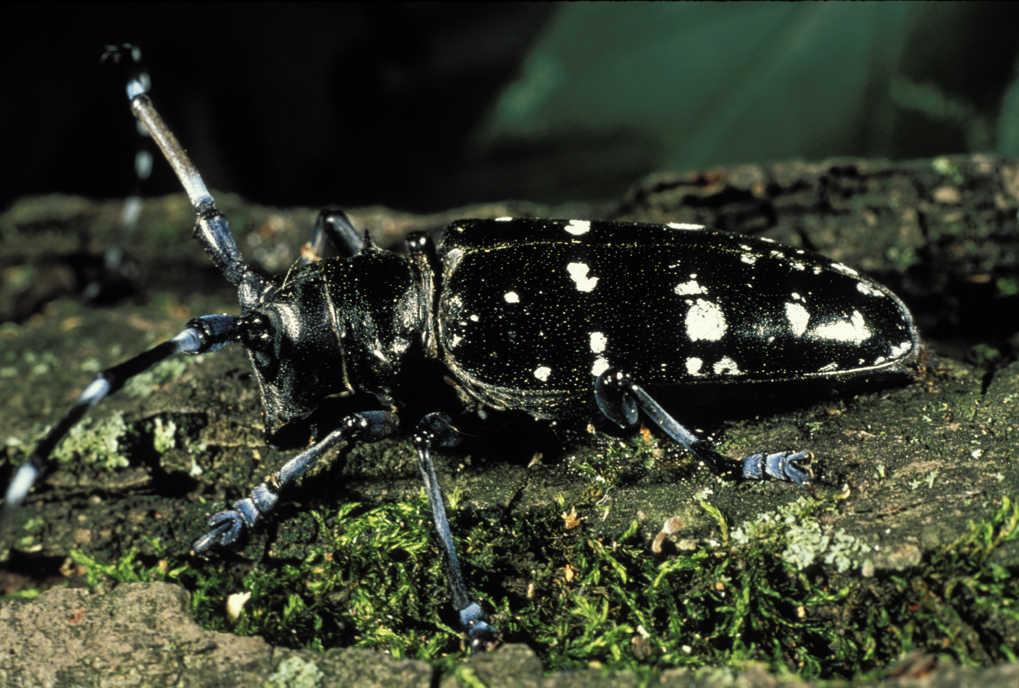 Your asian longhorned beetle eat wood can