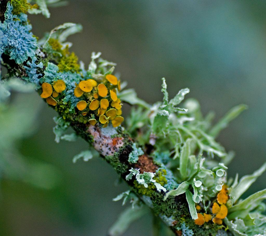 Lichen – Crandall Park Trees  Lichen – Cran...